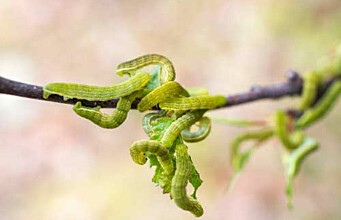Moth invasions cause damage in the sub-arctic birch forest