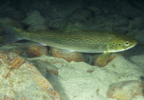 Monitoring the movements of sea trout