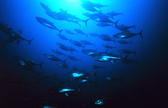 Premiere for intensive production of Atlantic bluefin tuna
