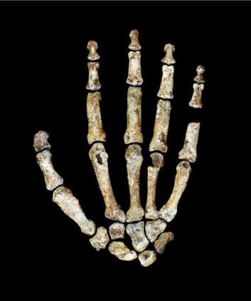 Homo naledis hånd er påfallende lik våre hender.   (Foto: Kivell, T.L et al.)