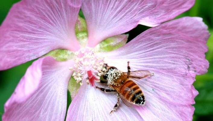 Honeybees appear to be Asian