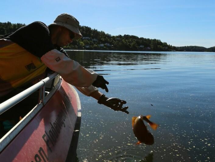 Forskningsfiske med ruser i Tvedestrandsfjorden. Even Moland setter en torsk tilbake i fjorden. (Foto: Espen Bierud, Havforskningsinstituttet)