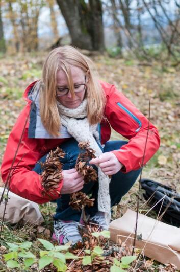 Mari Mette Tollefsrud samler inn askefrø og putter dem i papirposer. (Foto: Lars Sandved Dalen)