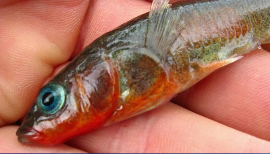 Småfisk utviklet seg i rekordfart etter jordskjelv
