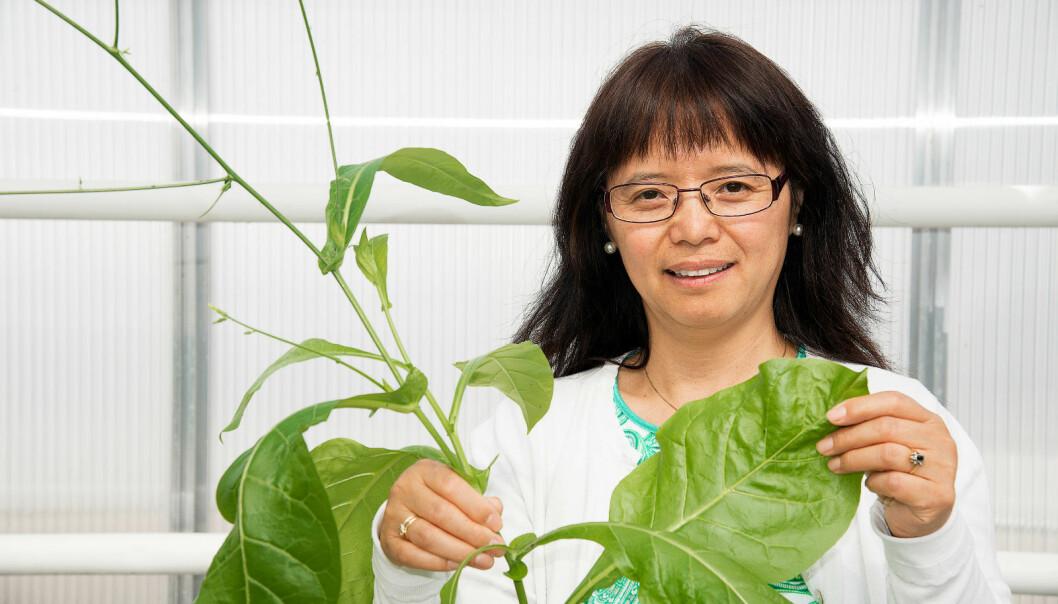 Senior researcher Jihong Liu Clarke began working on producing a vaccine against dengue fever four years ago. (Photo: Siri Elise Dybdal)