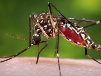 A female Aedes aegypti mosquito. The mosquito is known to carry dengue fever. (Photo: James Gathany/CDC/Handout via Reuters)