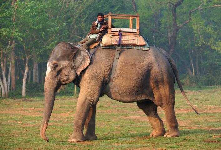Sosialpsykologen Jonathan Haidt har laget et bilde av våre bevisste valg som en liten rytter på en elefant av intuisjon og ubevisste tankeprosesser.  (Illustrasjonsfoto: www.colourbox.no)