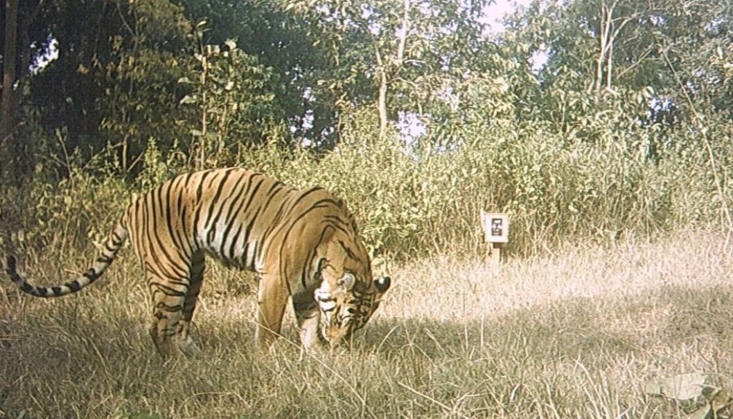 Camera trap image. Photo © Wildlife Institute of India (WII)