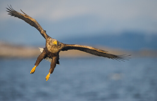 Five kilometres between life and death for the sea eagle
