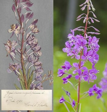 Døde planter fra herbarium avslører stoffskiftet sitt når forskere fra Umeå universitet undersøker sukkermolekyler fra plantene med kraftige magnetfelt og radiobølger. De finner at CO2-opptaket har økt med stigene CO2-nivåer i atmosfæren de siste hundre årene, men opptaket kan bli mindre når det også blir varmere. (Foto: Johan Gunséus)