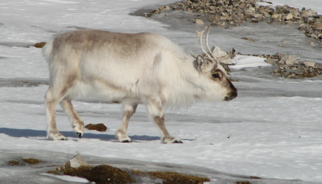 Heavy rains and unseasonably warm weather on Svalbard during January 2012 led to extremely icy conditions, which led to markedly increased reindeer mortality afterwards. (Photo: Brage Bremset Hansen)
