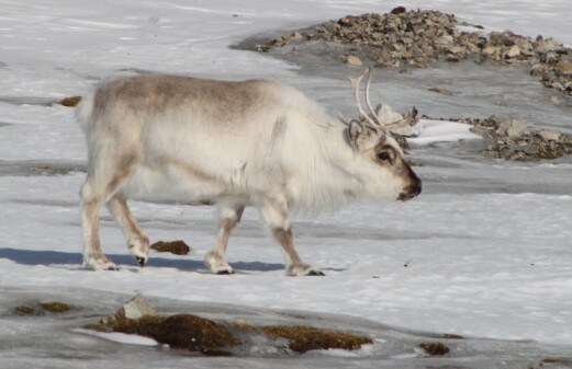 Extreme weather in the Arctic causes problems for people and wildlife