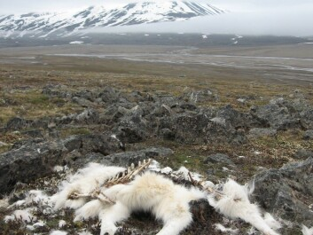 Reindeer mortality increased dramatically in some herds after an unusual January 2012 rain on snow event. (Photo: Brage Bremset Hansen)