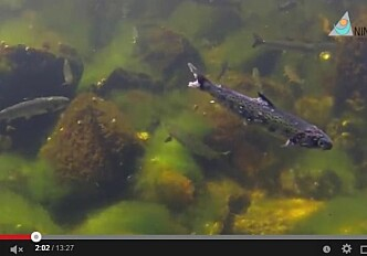 Video: Salmon lice on sea trout and Atlantic salmon
