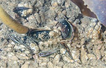 Blue mussels à la Svalbard on the menu?