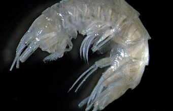 New sideswimmer discovered