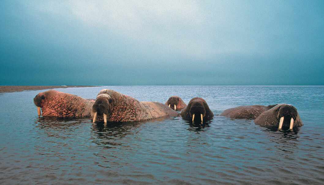 Walruses are found in Svalbard and are considered vulnerable (VU°). Walruses have a circumpolar distribution and the Norwegian population interacts with populations on Franz Josef Land. (Photo: Snorre Henriksen)
