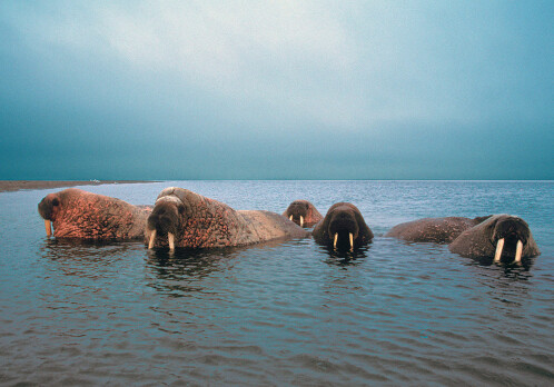 Red listed species on Svalbard