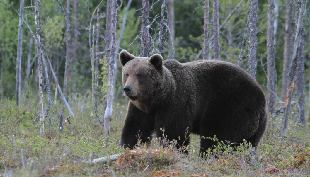 Brown bear in Finland. (Photo: Jan Ove Gjershaug, The Norwegian Institute for Nature Research)