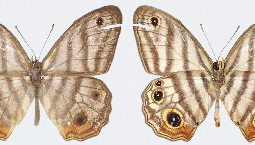Sommerfuglen Euptychia attenboroughi har både uvanlige vinger og kjønnsorganer sammenlignet med andre i slekta. Her er hannen sett forfra (til høyre) og bakfra. (Foto: Andrew Neild, Trustees of the natural history museum, London. CC-BY 4.0)