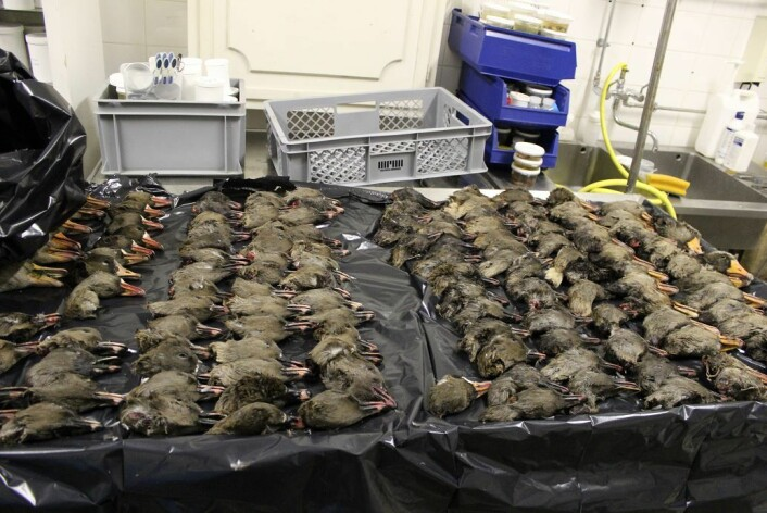 Forskerne har i samarbeid med danske jegere fått tak i 333 gåsehoder skutt rundt omkring i Danmark. Sju av dem hadde virus.  (Foto: Anders Fick Thomsen)