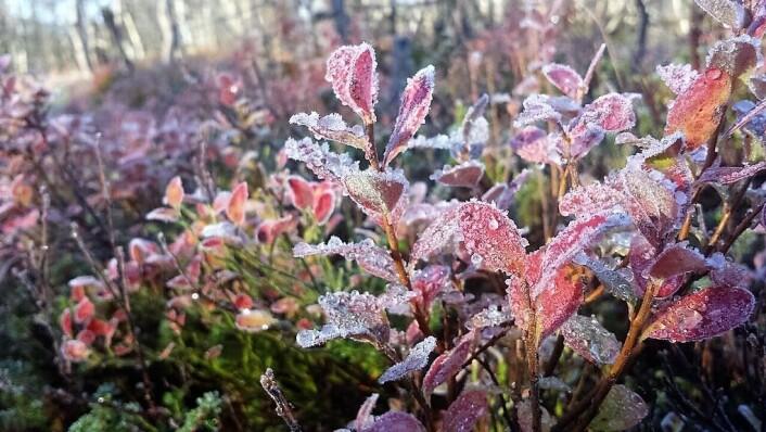 Hvis ikke plantene får herdet godt nok før vinteren, står de i fare for å få frostskader eller dø.  (Foto: Helge M. Markusson)