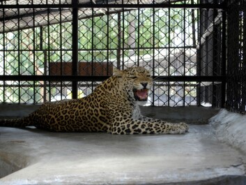 Leopards that have killed people are not released, but kept in captivity for the rest of their lives. (Photo: John Linnell / NINA)