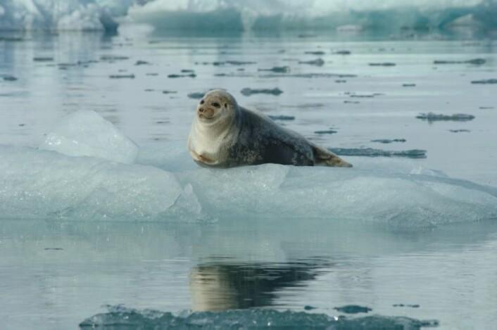 Ringselen har allerede begynt å endre atferd etter at havisen ved Svalbard har kollapset.  (Foto: Norsk Polarinstitutt)