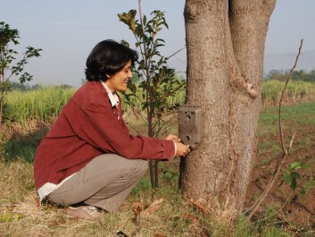 Researcher Vidya Athreya is setting up one of the camera traps that helped the researcher reveal some of the leopard's secrets. (Photo: John Linnell / NINA)