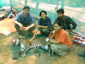 Putting GPS-collars on leopards enabled the researchers to follow the leopard's movement in detail. This proved to be quite stressful, especially when the leopards were lurking right outside people's homes. (Photo: Vidya Athreya)