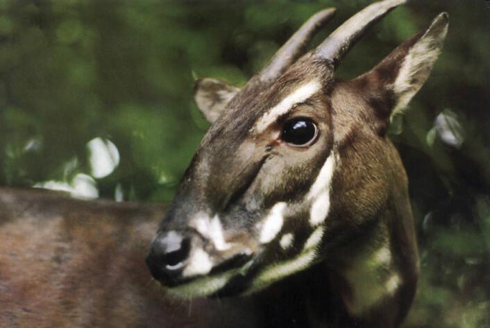 Saola eller Vu Quang-oksen er et av verdens mest sjeldne pattedyr. (Foto: AP/WWF)