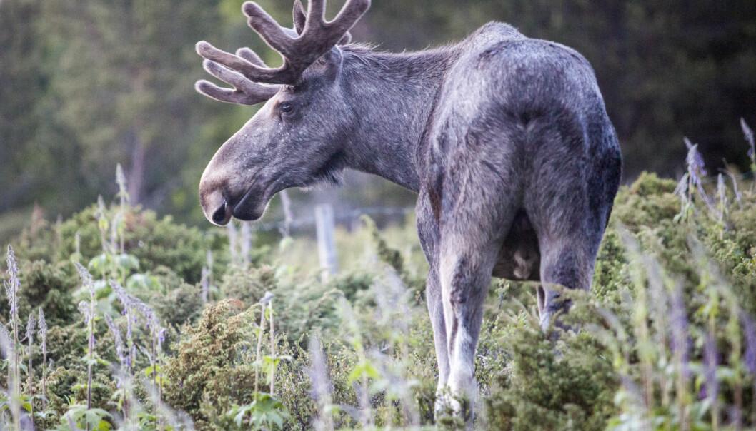 Elger er den største nålevende hjortearten. Den har ikke levd i Danmark på 5000 år, men den blir nå en del av det rike dyrelivet i området Lille Vildmose.  (Foto: Paul Kleiven, NTB scanpix)