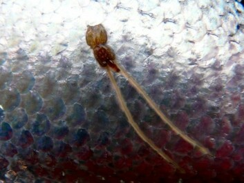 The salmon lice is the most common parasite on farmed salmon. They feed on skin and blood from their host fish. (Photo: Trygve Poppe)