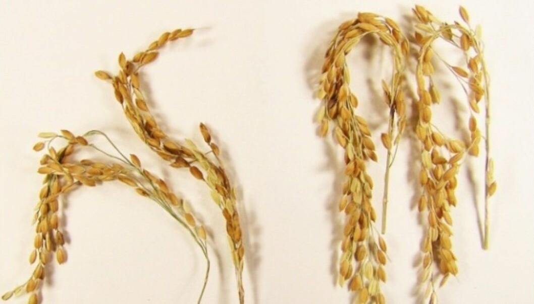 Den nye risen (til høyre), sammenlignet med «vanlig» ris (til venstre). Den nye risen lager mye mindre metan enn den gamle.  (Foto: Swedish University of Agricultural Sciences)