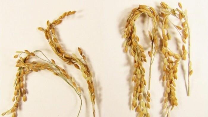 Klimavennlig ris kåret til årets nyskaping