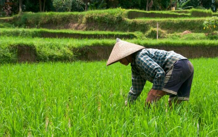 Forskerne regner med at mellom åtte og 15 prosent av globale utslipp av metan kommer fra risåkre verden over.  (Foto: Compuinfoto)