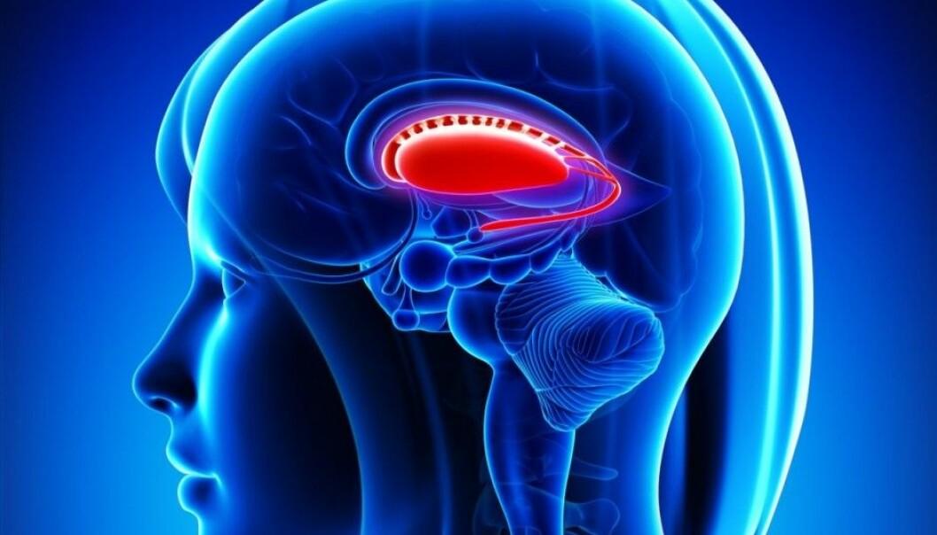 The putamen's position within the brain. (Photo: Microstock)