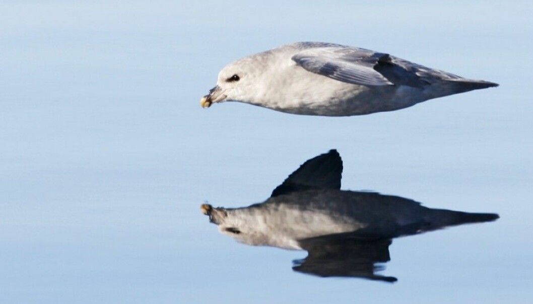 Fulmars, like other organisms dependent on the ocean for food, often inadvertently consume plastic. (Photo: Scanpix, Håkon Mosvold Larsen)
