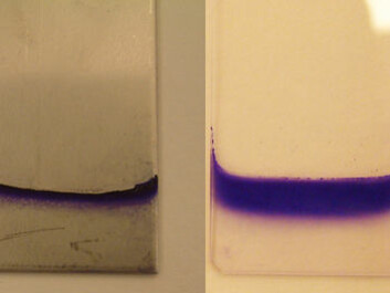 The ability of bacteria to form biofilm is tested on various substrates and at different temperatures. Here we see E. coli biofilm on steel at 20° C and on glass at 12° C. Colour has been added to the biofilm to make it easier to see. (Photo:Heidi Solheim, The Norwegian Veterinary Institute)