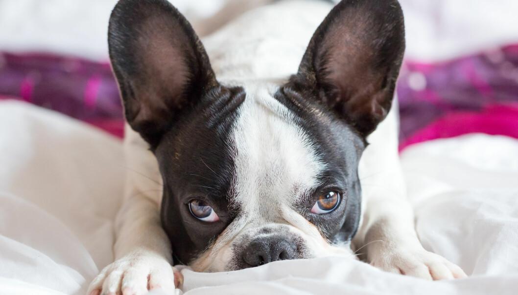 Hunden din er kanskje flink til å be om hjelp når den får en vanskelig oppgave. Men hva skjer hvis den skal klare seg selv?  (Illustrasjonsfoto: Microstock)