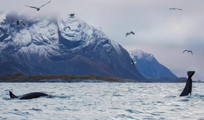 Når silda svømmer inn i en fjord som Kaldfjorden, følger knølhvaler og spekkhoggere etter. (Foto: Karl-Otto Jacobsen, Norsk institutt for naturforskning (NINA))