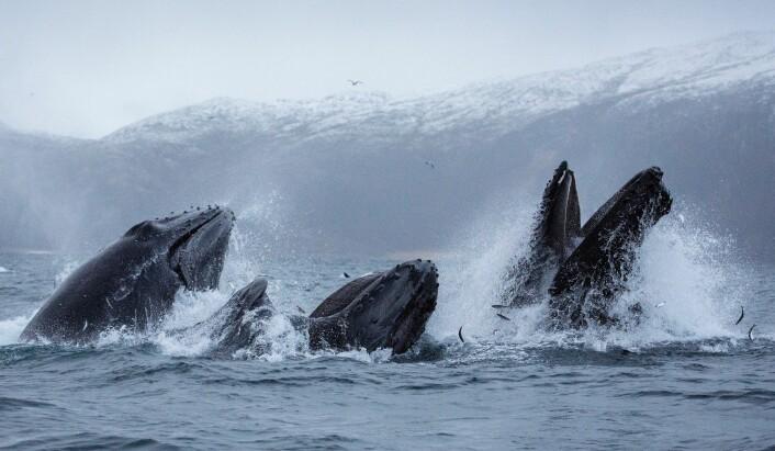 Flere hvaler samarbeider om å fange fisk ved å blåse ut luft under vann og samle fisken i en gardin av bobler, før de kommer til overflaten med åpen munn i sentrum av bobleringen. Bildene er tatt i Kaldfjorden ved Kvaløya i Troms i forrige uke. (Foto: Karl-Otto Jacobsen, Norsk institutt for naturforskning (NINA))
