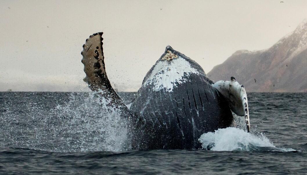 Knølhvalene liker å leke, i tillegg til hoppinga slår de i vannflaten med de lange brystfinnene eller halefinnen. (Foto: Karl-Otto Jacobsen, Norsk institutt for naturforskning (NINA))
