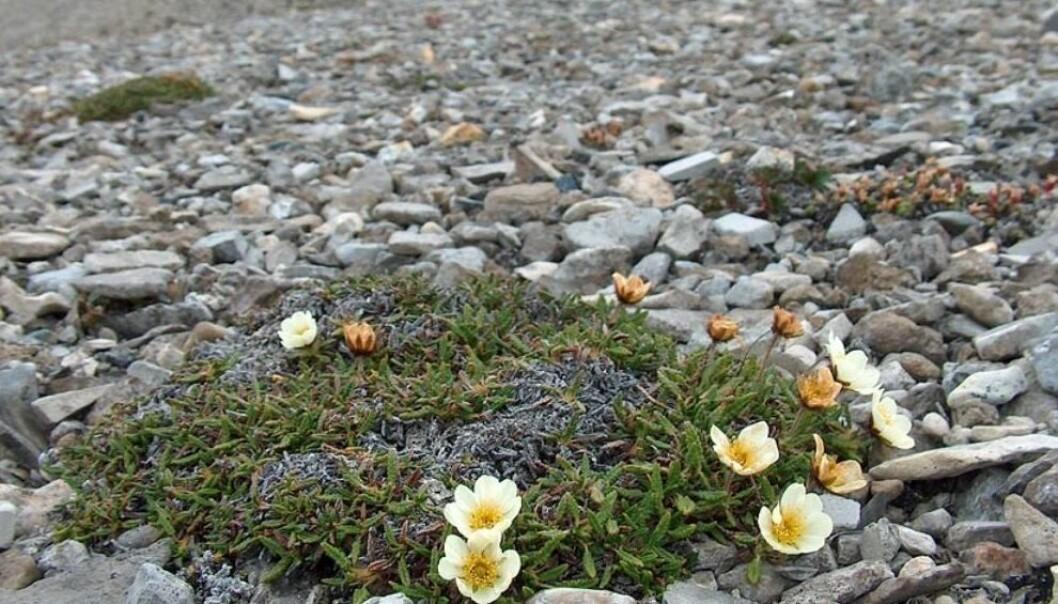 Reinrose (<em>Dryas octopetala</em>) i Skansebukta på Svalbard. (Foto: Geir Arnesen, Svalbardflora.no)