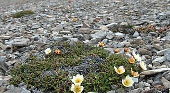 Svalbard-planter tåler moderate klimaendringer