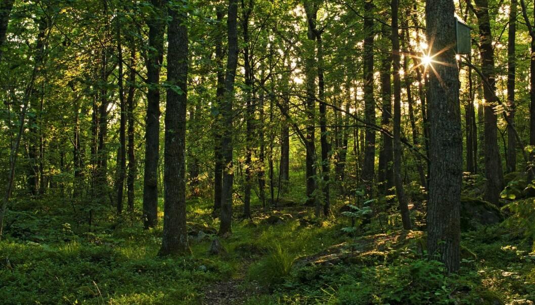Edelløvskog med sommereik (<em>Quercus robur</em>) fra i Hvaler naturreservat i Østfold. (Foto: Svein Grønvold)