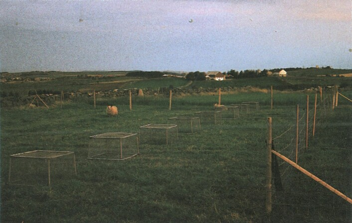 Slik så forsøksfeltet på Særheim ut før Astri var med på å sortere gress. Formålet var å se hva slags arter som fantes i et gressfelt, og hvilke som klarte seg best etter beiting. (Foto: Fra boka «Den grønne evolusjonen», Landbruksforlaget, 1989)