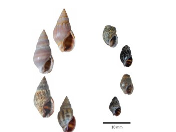The snails on the right are from the acidic water and the snails on the left are from the normal water. (Photo: IMR)