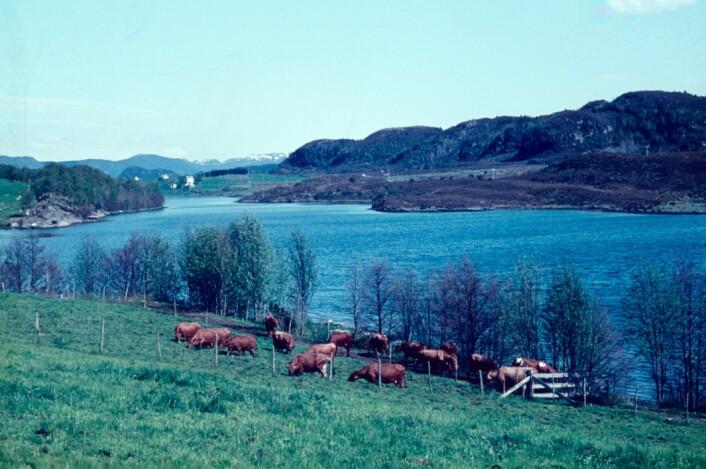 Beite ved Fureneset, kanskje den store oksen Tito er far til noen av disse kvigene? (Foto: Markus Pestalozzi)
