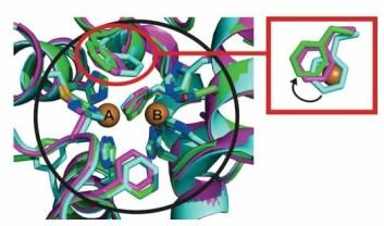 Illustrasjonen viser hva som skjer inne i valnøttskall når det kobberholdige enzymet tyrosinase får igang de kjemiske reaksjonene som farger frukten brun.  (Foto: (Ill.:Angewandte Chemie))